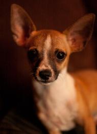 Chihuahua Kraków